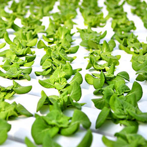A Fresh look at Hydroponics